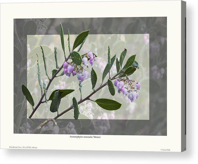 Manzanita Acrylic Print featuring the photograph Arctostaphylos Manzanita 'monica' by Saxon Holt