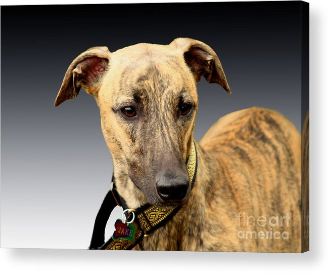 Brindle Acrylic Print featuring the photograph Jake by Linsey Williams