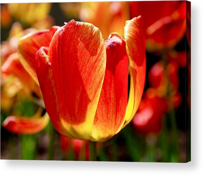 Orange Acrylic Print featuring the photograph Sunlit Tulips by Rona Black
