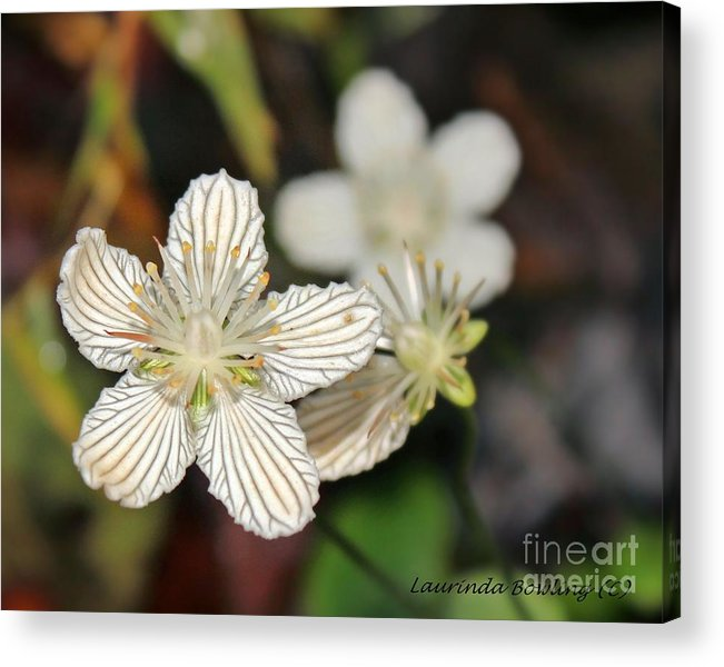 Flower Acrylic Print featuring the photograph Little Wildflower by Laurinda Bowling