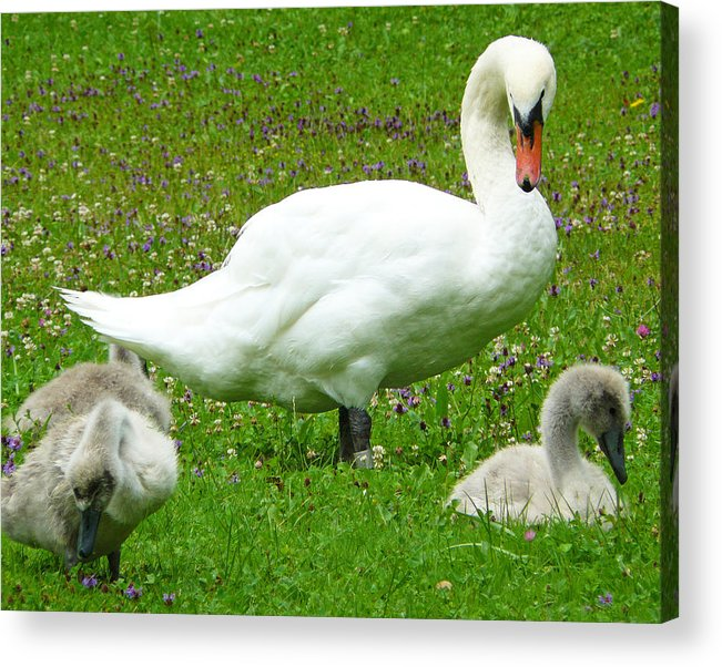 Caring Acrylic Print featuring the photograph A Caring Mother by Daniel Csoka