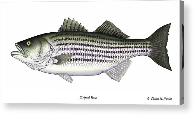 Striped Bass Art Acrylic Print featuring the painting Striped Bass by Charles Harden