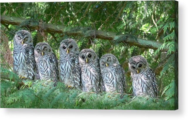 Owl Acrylic Print featuring the photograph Barred Owlets Nursery by Jennie Marie Schell