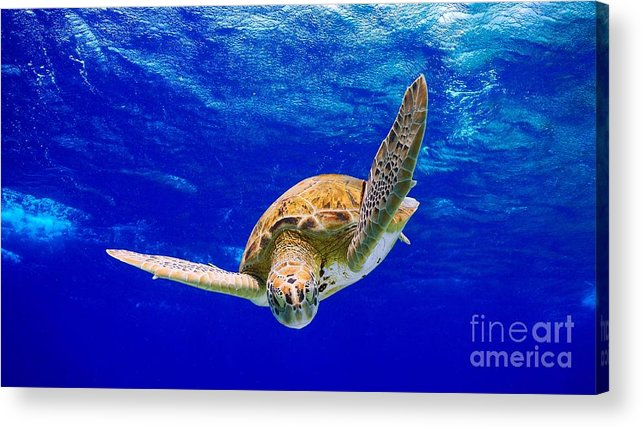 Diving Acrylic Print featuring the photograph Into The Blue by Isabelle Kuehn