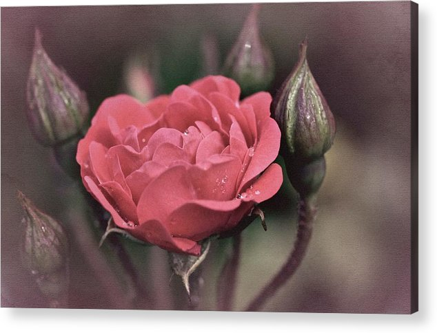 Rose Acrylic Print featuring the photograph Vintage Rose No. 4 by Richard Cummings