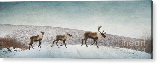 Animal Acrylic Print featuring the photograph Three Caribous by Priska Wettstein