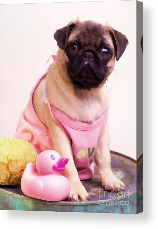 Pug Pink Dog Pet Puppy Puppies Cute Adorable Portrait Duckie Duck Bathtime Bath Wash Dress Clothed Clothing Acrylic Print featuring the photograph Pug Puppy Bath Time by Edward Fielding
