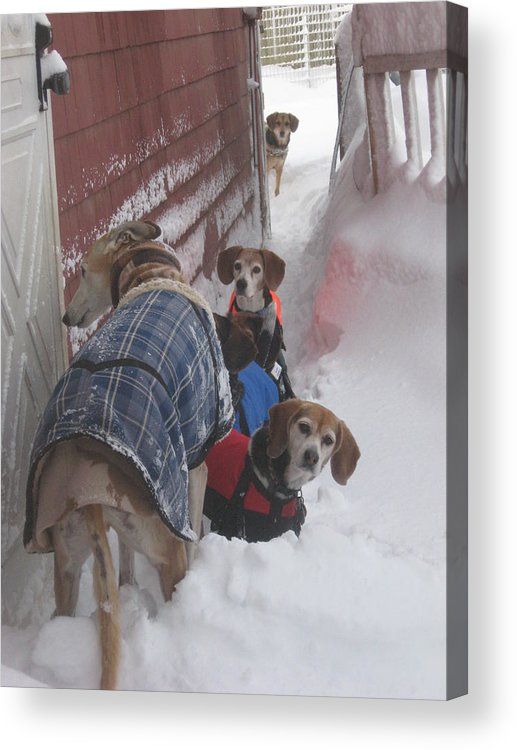 Beagles Acrylic Print featuring the photograph Snow Angels by Leslie Manley