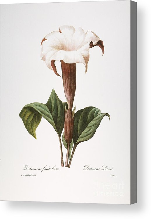 1833 Acrylic Print featuring the photograph Redoute: Datura, 1833 by Granger