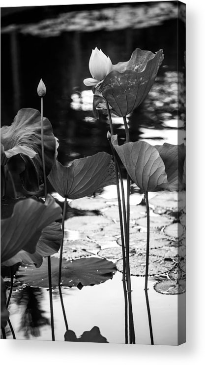 Mauritius Acrylic Print featuring the photograph Lotuses In The Pond I. Black And White by Jenny Rainbow