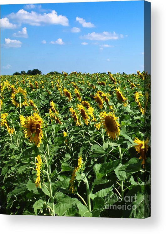 Sunflower Acrylic Print featuring the photograph Windblown Sunflowers by Robert Frederick