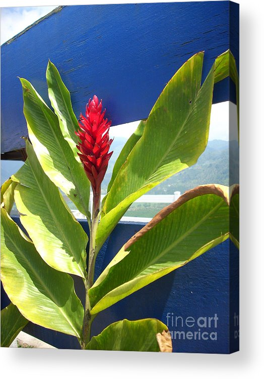 Flower Acrylic Print featuring the photograph Red Ginger by Randi Shenkman