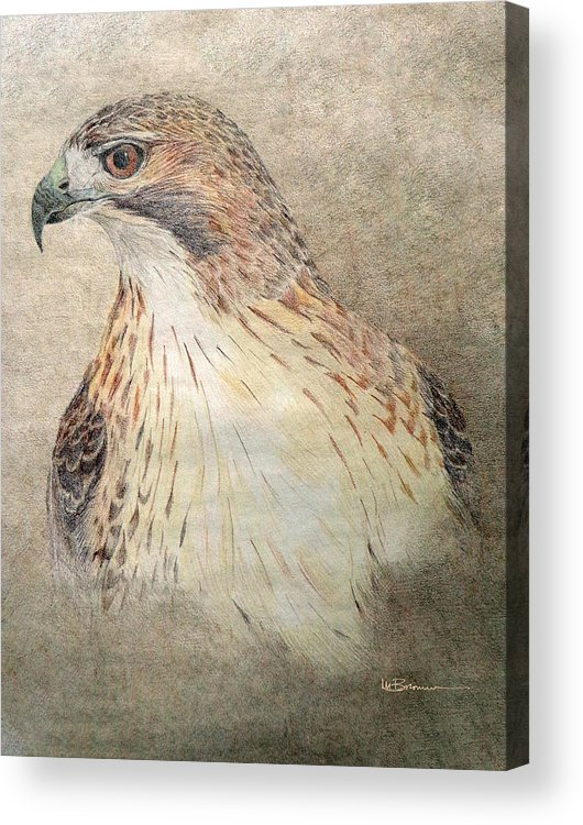 Red-tailed Hawk Acrylic Print featuring the drawing Study Of The Red-tail Hawk by Leslie M Browning