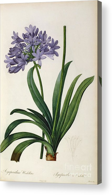 Agapanthus Acrylic Print featuring the painting Agapanthus Umbrellatus by Pierre Redoute