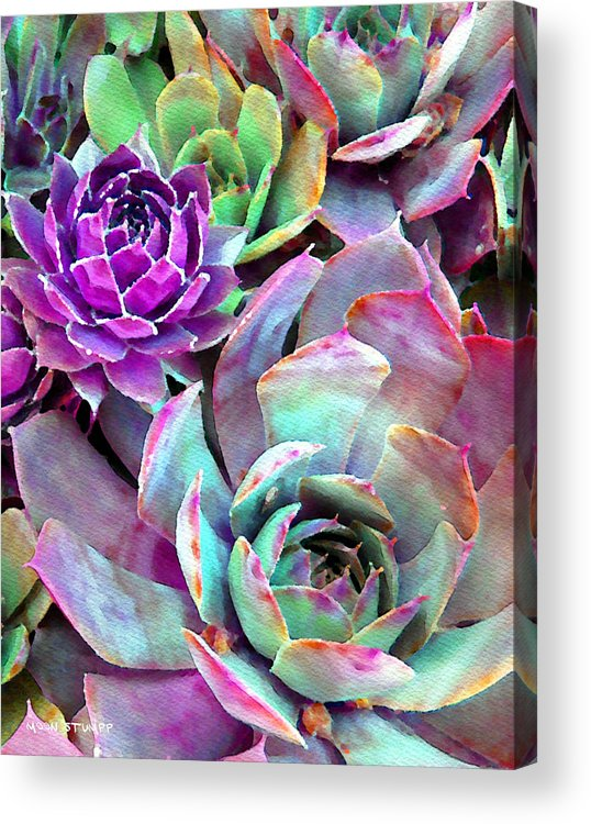 Hens And Chicks Photography Acrylic Print featuring the photograph Hens And Chicks Series - Urban Rose by Moon Stumpp