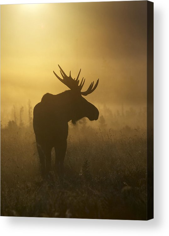 Alaska Acrylic Print featuring the photograph Bull Moose In Fog by Tim Grams