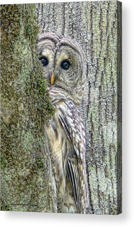 Owl Acrylic Print featuring the photograph Barred Owl Peek A Boo by Jennie Marie Schell