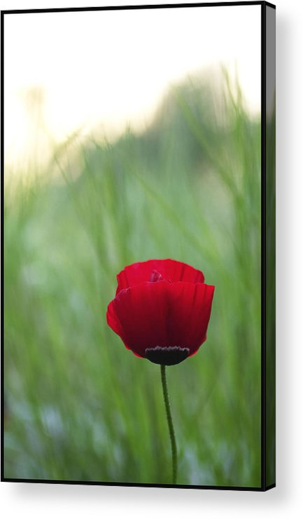 Flower Acrylic Print featuring the photograph Sunset Poppy by Julia Bridget Hayes