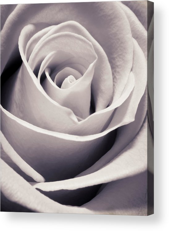 3scape Photos Acrylic Print featuring the photograph Rose by Adam Romanowicz