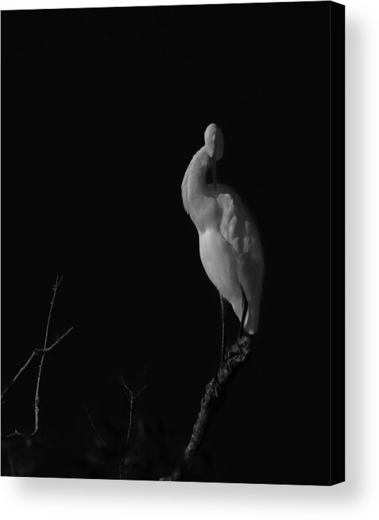 Black And White Acrylic Print featuring the photograph shy by Mario Celzner