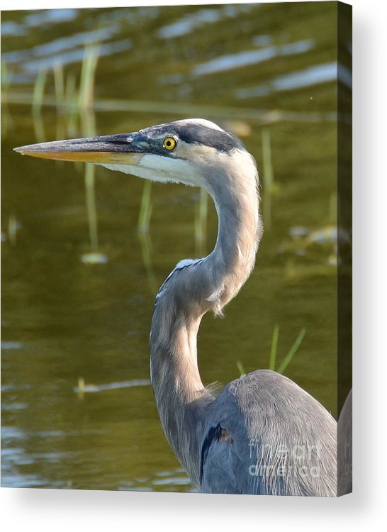 Heron Acrylic Print featuring the photograph Too Close For Comfort by Carol Bradley