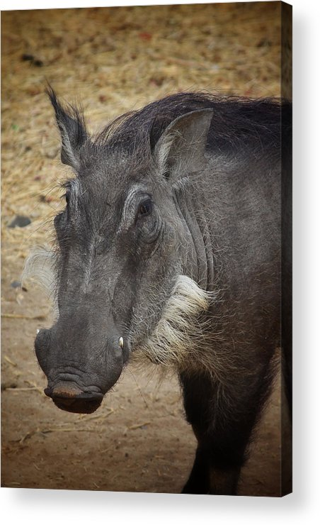 Boar Acrylic Print featuring the photograph African Boar by Dave Hall