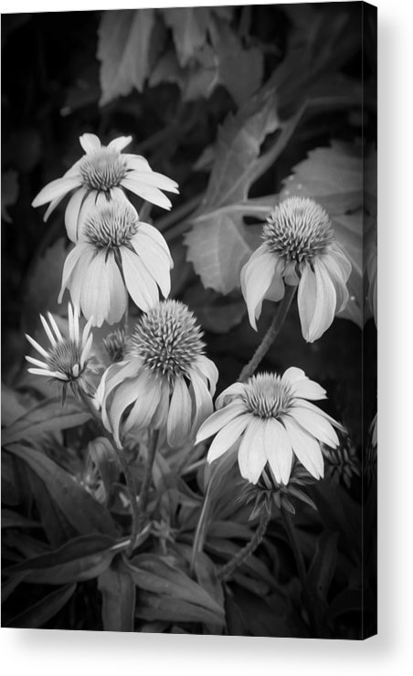 Echinacea Acrylic Print featuring the photograph Coneflowers Echinacea Rudbeckia Bw by Rich Franco