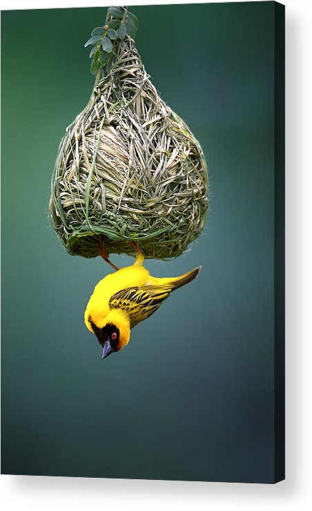 Africa Acrylic Print featuring the photograph Masked Weaver At Nest by Johan Swanepoel