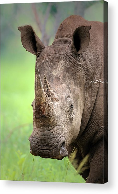 Square-lipped Acrylic Print featuring the photograph White Rhinoceros by Johan Swanepoel