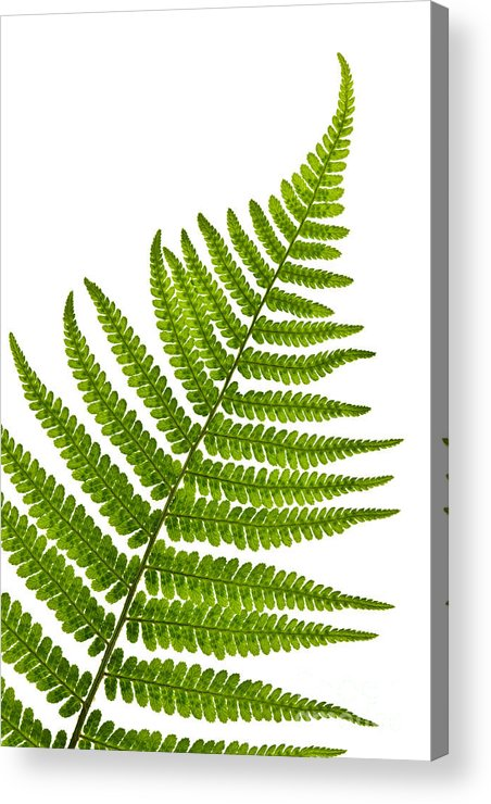 Fern Acrylic Print featuring the photograph Fern Leaf by Elena Elisseeva