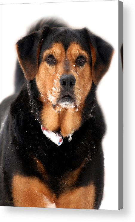 Black Lab Acrylic Print featuring the photograph Attentive Labrador Dog by Christina Rollo