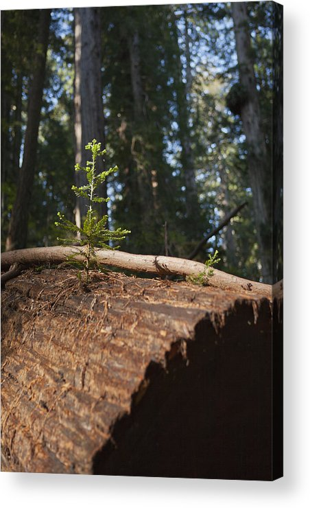 Sequoia Sempervirens (pronounced /sɨˈkɔɪ.ə Sɛmpərˈvaɪrənz/)[1] Is The Sole Living Species Of The Genus Sequoia In The Cypress Family Cupressaceae (formerly Treated In Taxodiaceae). Common Names Include Coast Redwood Acrylic Print featuring the photograph Baby Redwood by Joel Moranton