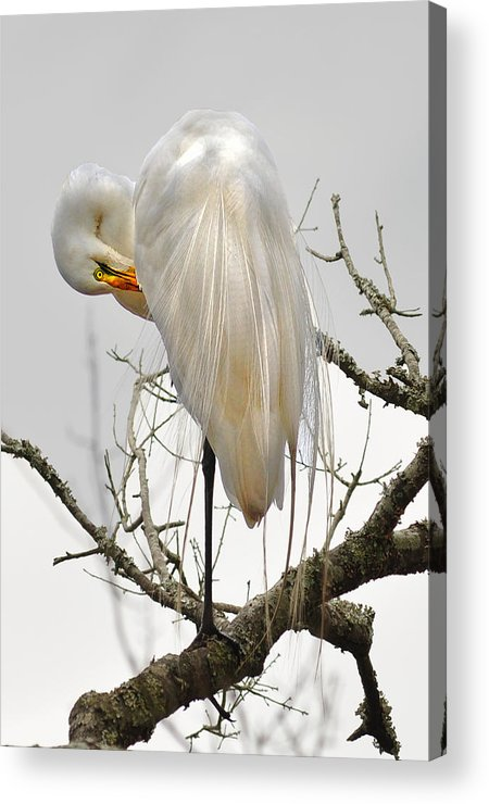 Acrylic Print featuring the photograph Bride Of Magnolia by Donnie Smith