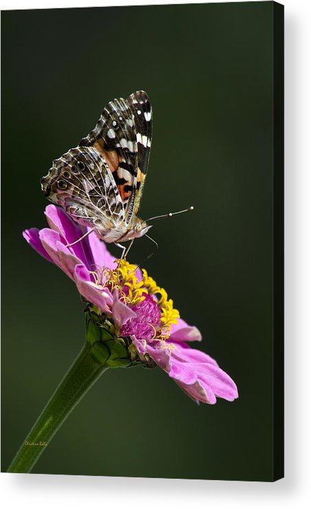 Animal Acrylic Print featuring the photograph Butterfly Blossom by Christina Rollo
