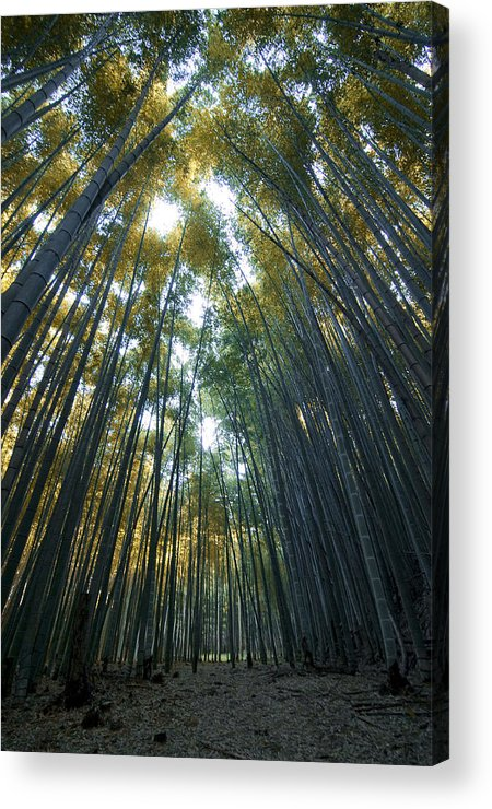 Bamboo Acrylic Print featuring the photograph Golden Bamboo Forest by Aaron S Bedell