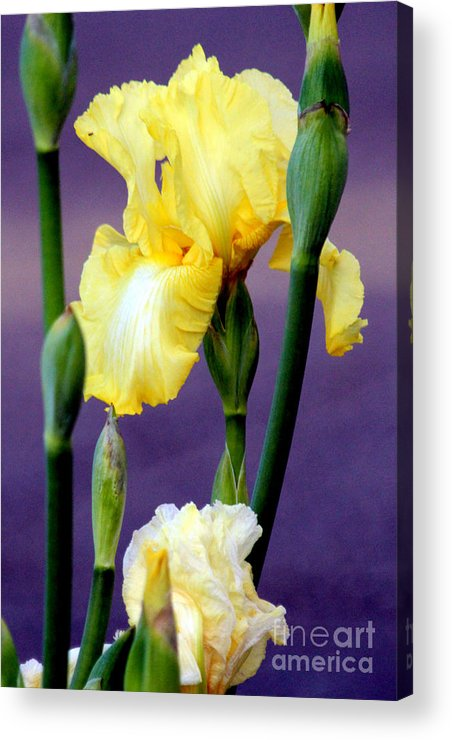Yellow Bearded Iris Acrylic Print featuring the photograph I Only Have Iris For You by Kathy White