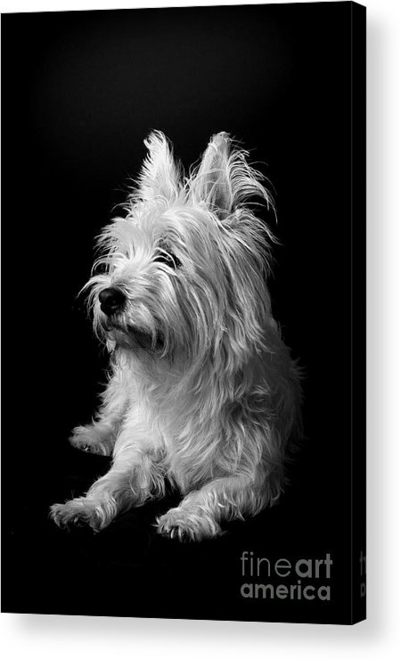 West Highland Terrier Black And White Image Acrylic Print featuring the photograph Westie by Catherine Reusch Daley