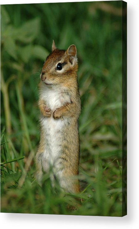 Curious Chipmunk Acrylic Print featuring the photograph Whats Up by Sandra Updyke