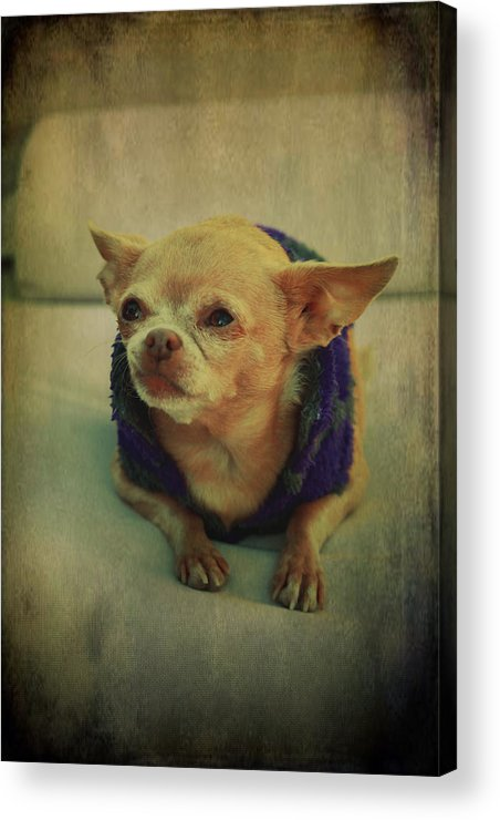 Chihuahuas Acrylic Print featuring the photograph Zozo by Laurie Search