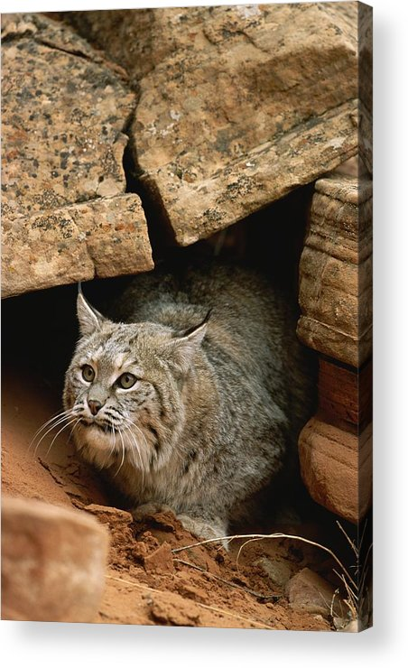 Animals Acrylic Print featuring the photograph A Bobcat Pokes Out From Its Alcove by Norbert Rosing