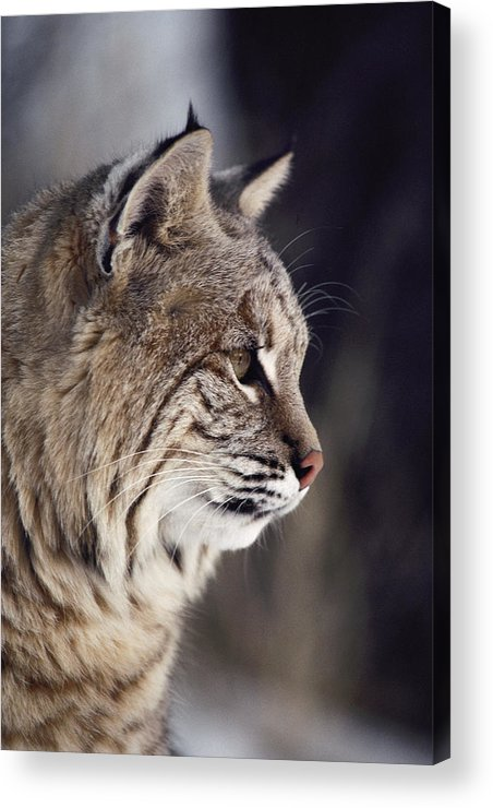 North America Acrylic Print featuring the photograph Close-up Of A Bobcat Felis Rufus by Dr. Maurice G. Hornocker