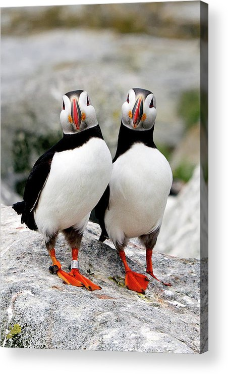 Vertical Acrylic Print featuring the photograph Pair Of Puffins by Betty Wiley