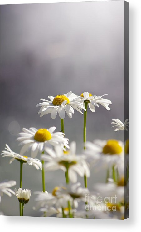 Agriculture Acrylic Print featuring the photograph White Daisies by Carlos Caetano