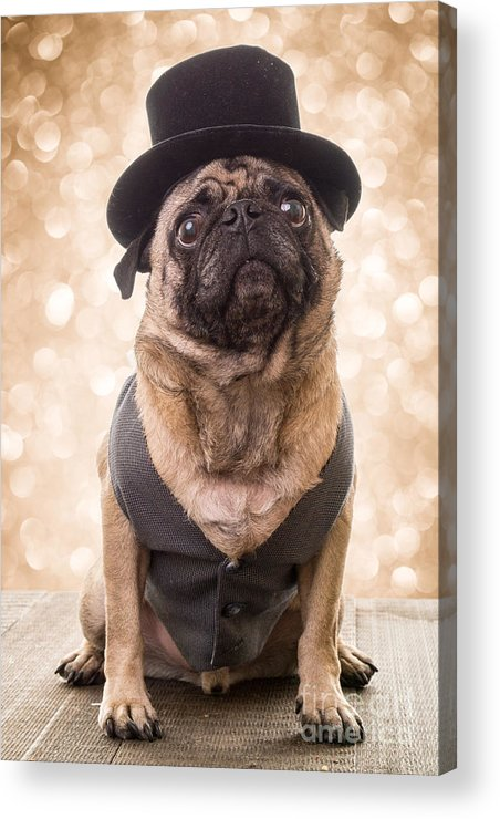 Pug Acrylic Print featuring the photograph A Star Is Born - Dog Groom by Edward Fielding