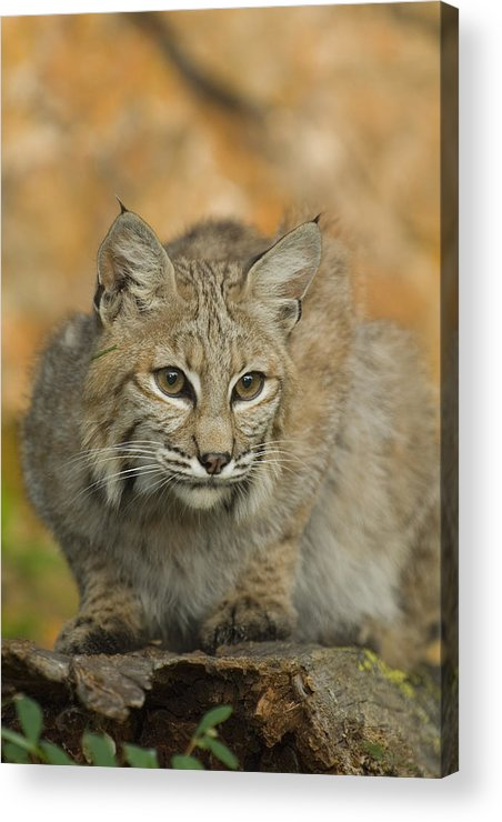 Alertness Acrylic Print featuring the photograph Bobcat Felis Rufus by Grambo Photography and Design Inc.