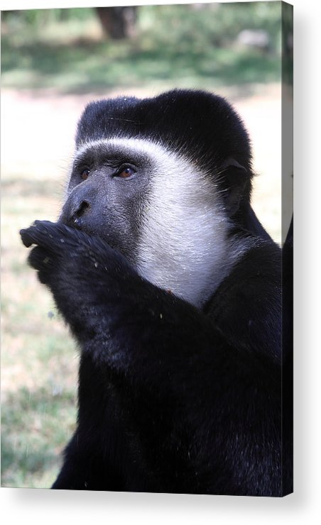 Colobus Acrylic Print featuring the photograph Colobus Monkey by Aidan Moran