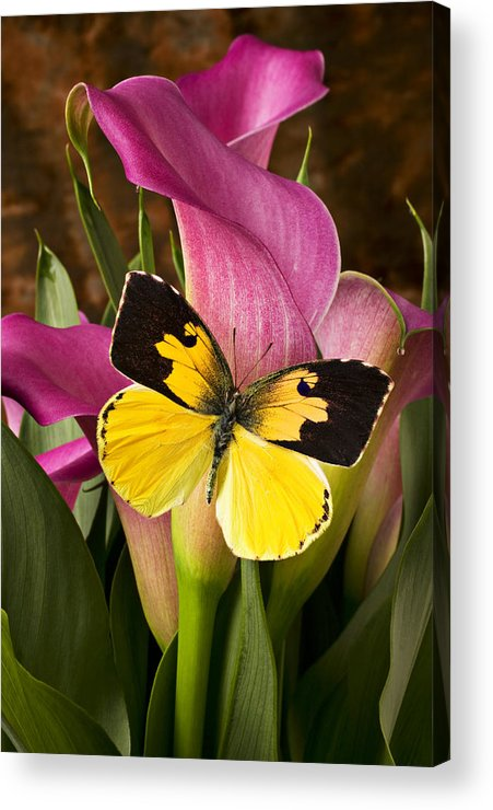 Butterfly Acrylic Print featuring the photograph Dogface Butterfly On Pink Calla Lily by Garry Gay