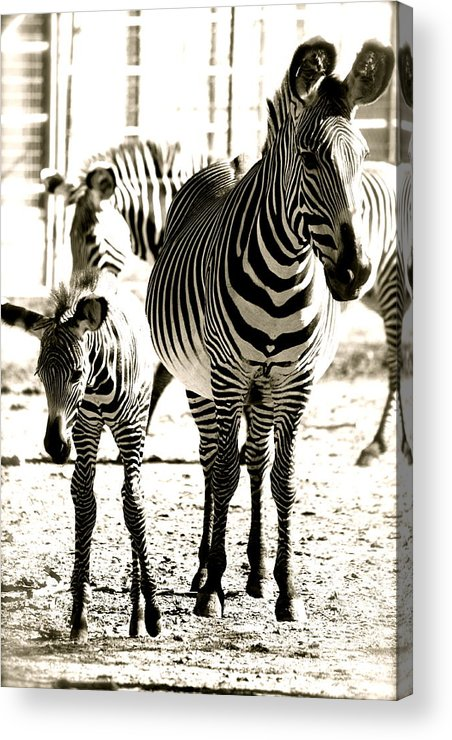 Black And White Of Zebra's Acrylic Print featuring the photograph Mama's Love by Jennifer Lane