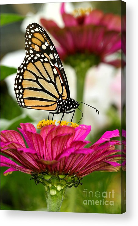 Monarch Acrylic Print featuring the photograph Zinnia Rose And Monarch by Steve Augustin