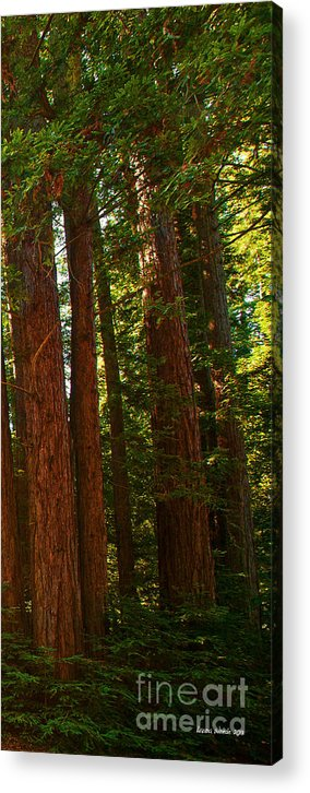 Redwoods Acrylic Print featuring the photograph Redwood Wall Mural Panel Three by Artist and Photographer Laura Wrede